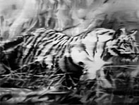 Tiger - G.Richter